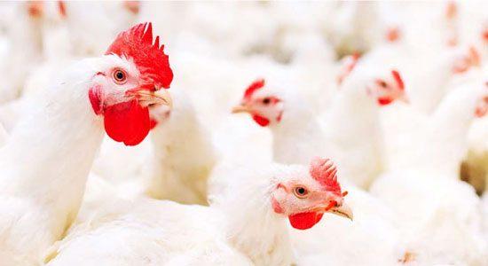 consultants secteur avicole